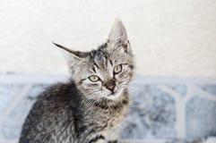 Tabby kitten Stock Photography