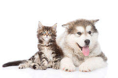 Tabby kitten and alaskan malamute dog together.  on whit. E background Royalty Free Stock Photos
