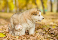 Tabby kitten and alaskan malamute puppy standing together in autumn park Royalty Free Stock Photo