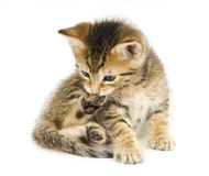 Tabby kitten biting claws. A tabby kitten bites at its claws white sitting on a white background Stock Image