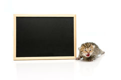 Tabby kitten with black board on white background Royalty Free Stock Image