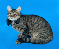 Tabby kitten in  bow tie lying on blue Royalty Free Stock Photography