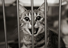 Tabby kitten in a cage meowing. Homeless animals series. Tabby kitten in a cage looking out through the bars meowing. Black and white image royalty free stock photography