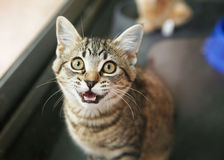 Tabby kitten in a cage meowing. Homeless animals series. Tabby kitten in a cage looking up meowing stock images