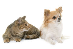 Tabby kitten and chihuahua Stock Images