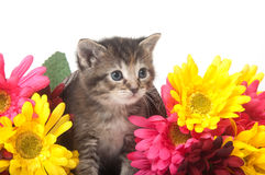 Tabby kitten and colorful flowers Royalty Free Stock Photos