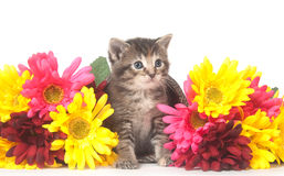 Tabby kitten and colorful flowers Royalty Free Stock Photography