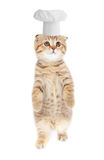 Tabby kitten in cook hat isolated Royalty Free Stock Images