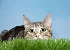Tabby kitten crouched in grass to pounce. Close up portrait of a brown and tan stripped tabby kitten crouched down in green grass looking at viewer. Blue Royalty Free Stock Photo