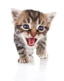 Tabby kitten crying Royalty Free Stock Photo