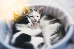 Tabby kitten. Cute tabby kittens sleeping and hugging in a basket Royalty Free Stock Image