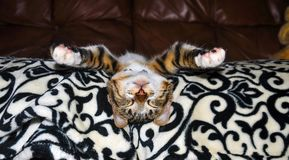 Tabby kitten deep asleep on the couch.  Royalty Free Stock Images
