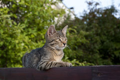 Tabby kitten on the fence. Tabby kitten lying on the wooden fence royalty free stock images