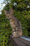 Tabby kitten on the fence. Tabby kitten sitting on the wooden fence, looking down and scenting stock image