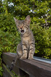 Tabby kitten on the fence. Tabby kitten sitting on the wooden fence, mouth open royalty free stock photography