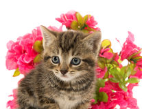 Tabby kitten and flowers Stock Photography