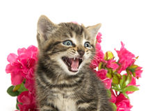 Tabby kitten and flowers Royalty Free Stock Photos