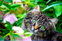 Tabby kitten and flowers Royalty Free Stock Images