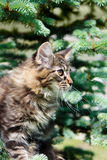 Tabby kitten and fur-tree Stock Photos