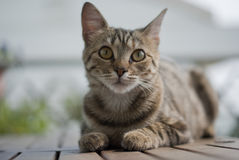 Tabby kitten on a garden table Royalty Free Stock Photography