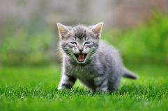Tabby kitten in grass. Yawning stock images