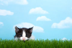 Tabby kitten in green grass. Black and white tabby kitten in tall grass with blue sky background white fluffy clouds. crouched down to pounce, pupils dilated stock photos