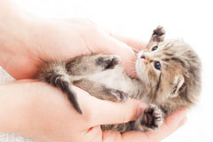 Tabby kitten in hands Royalty Free Stock Image