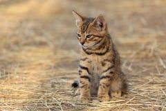 Tabby kitten, hay background royalty free stock photography