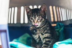 Tabby Kitten Inside a Carriage with One Foot Up Royalty Free Stock Photography