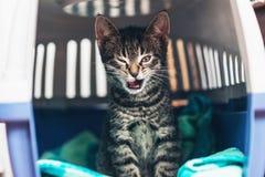 Tabby Kitten Inside Cat Carriage Box irritada imagem de stock