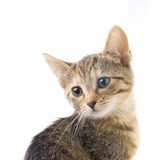 Tabby kitten isolated Royalty Free Stock Images