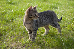 Tabby kitten on the lawn. Looking back stock photography