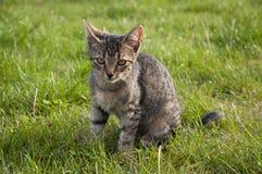 Tabby kitten on the lawn. Tabby kitten sitting on the lawn Stock Photo