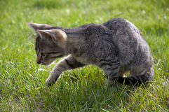 Tabby kitten on the lawn. Tabby kitten walking on the lawn, catching fly royalty free stock image
