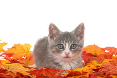 Tabby kitten laying in fall leaves isolated on white royalty free stock photography
