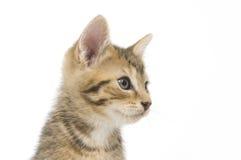 Tabby kitten looking right Royalty Free Stock Photos