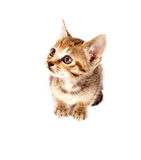 Tabby kitten looking up Stock Photography