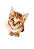 Tabby kitten looking up Royalty Free Stock Image