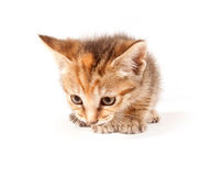 Tabby kitten looking up Royalty Free Stock Images