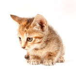 Tabby kitten looking up Stock Image