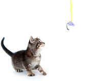 Tabby kitten looking up Royalty Free Stock Photo