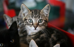 Tabby kitten looking up. Tabby kitten in a cage looking up, he is surrounded by other kittens royalty free stock image