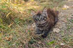 Tabby kitten looking up with interest Stock Photography