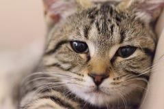 Tabby Kitten 01 Royalty Free Stock Photos