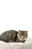 Tabby Kitten. Lying on a cat bed, isolated on a white background Stock Photo