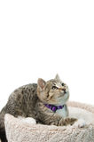Tabby Kitten. Lying on a cat bed looking up, isolated on a white background Stock Image