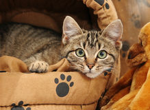 Tabby kitten lying down in bed. Tabby kitten in a cat bed looking at camera royalty free stock images