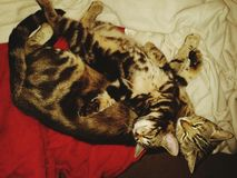 Tabby kitten lying on his mommy cat Stock Photography