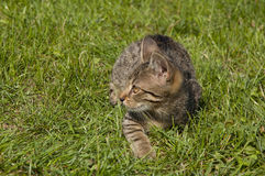 Tabby kitten. Lying on the lawn stock photography