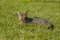 Tabby kitten. Lying on the lawn stock images